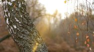 Birch in autumn with the sun. Stock Footage