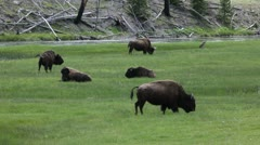 American Bison in the Wild - stock footage