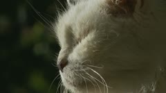 Close up Mature cat looking into camera Stock Footage