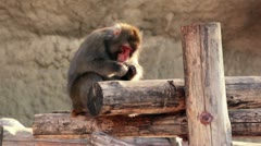 Snow monkey sits on wooden logs and eats Stock Footage