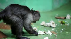 Monkey sits in front of wall and eats in zoo Stock Footage