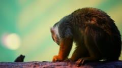 Little monkey sitting on tree trunk and eats peanut Stock Footage
