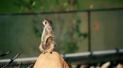 Gopher stands guard on rock and looks around Stock Footage