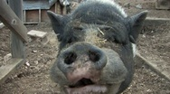 Stock Video Footage of Pot Belly Pig greeting