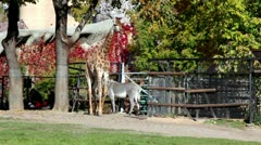 Giraffe and zebra in pen zoo, walk by grass Stock Footage