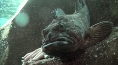 Leave me alone Lingcod Stock Footage