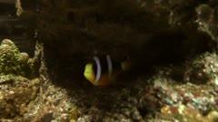 Underwater clown fish saltwater Stock Footage