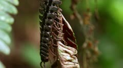 Macro shot of a huge black flat-backed centipede in Ecuadorian rainforest Stock Footage