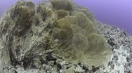 Stock Video Footage of 110612k 004 colony of giant sea fans