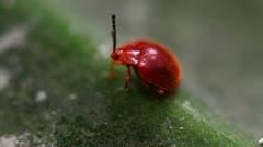 Small Red Lily Beetle resting on a leaf Stock Footage