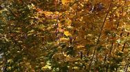 Stock Video Footage of Fall Foliage Wind