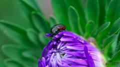 Red and black beetle. Stock Footage