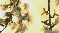 Stock Video Footage of spring blossom 1