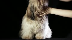 Shih Tzu dog grooming Stock Footage