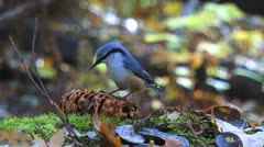 Little bird eats nuts in the forest slowly Stock Footage