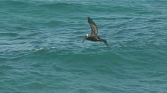 Pelican diving for fish Stock Footage