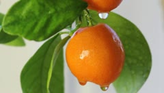 Calamondin Stock Footage