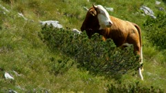 Bull graze on the mountain pastures - stock footage