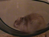 Stock Video Footage of Hamster wheel counter clockwise