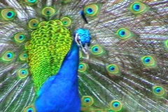 Peacock Stock Footage