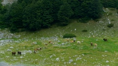 Cows, calves and bulls on the mountain pastures Stock Footage