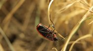 Stock Video Footage of Macro, Red Beetles