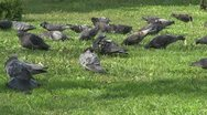 Stock Video Footage of Many pigeons eating