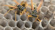 Stock Video Footage of Macro Hornet (Vespa Crabo, European Hornets) working on Nest, Grape, Grass