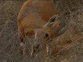 Deer-in the Desert- eating 2 Stock Footage