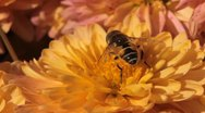 Stock Video Footage of Macro Insects Beautiful Bumble-Bee Pollinating Wonderful Flower in Summer, Hive