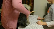 Yorkshire terrier Stock Footage