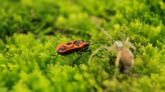 Stock Video Footage of Macro Dangerous Spider and a Red Beetle Bug, Close-Up, Araneae, Arthropods
