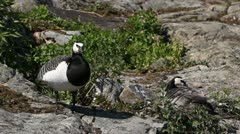 Stock Video Footage of Male Goose Defend Nest, Seagull Attack, Beautiful Exotic Goose, Birds