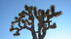 Joshua tree against blue sky Stock Footage