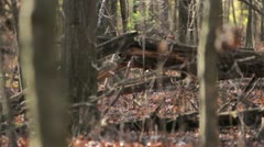 Deer prancing thru woods - fall season. - stock footage