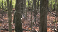 Deer senses danger & runs Stock Footage
