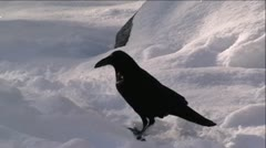 Black Raven In Snow Stock Footage