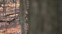 Curious Deer revealed from big tree. Stock Footage
