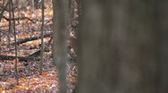 Stock Video Footage of Curious Deer revealed from big tree.