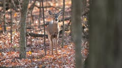 Deer walks perfectly thru autumn woods. Stock Footage