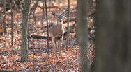 Stock Video Footage of Deer walks perfectly thru autumn woods.