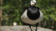 Male Goose Defend Nest, Seagull Attack, Beautiful Exotic Goose, Birds Stock Footage