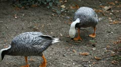 Stock Video Footage of Beautiful Exotic Goose, Duck in a Park Lake, Small Pond, Birds