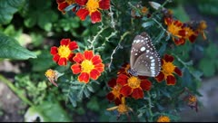 Butterfly_LDA P 00312 Stock Footage