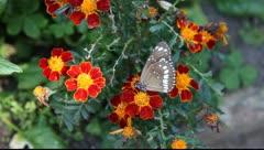 Butterfly_LDA N 00354 Stock Footage