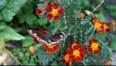 Butterfly_LDA N 00355 Stock Footage