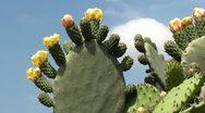Cactus flowers Stock Footage