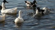 Ducks On The Lake Stock Footage
