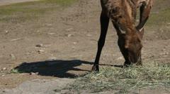 Elk in wild Stock Footage