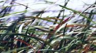 Reed Stock Footage